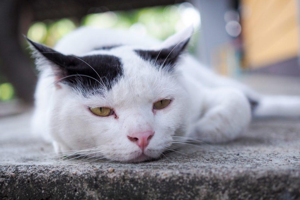 objawy wścieklizny u kota