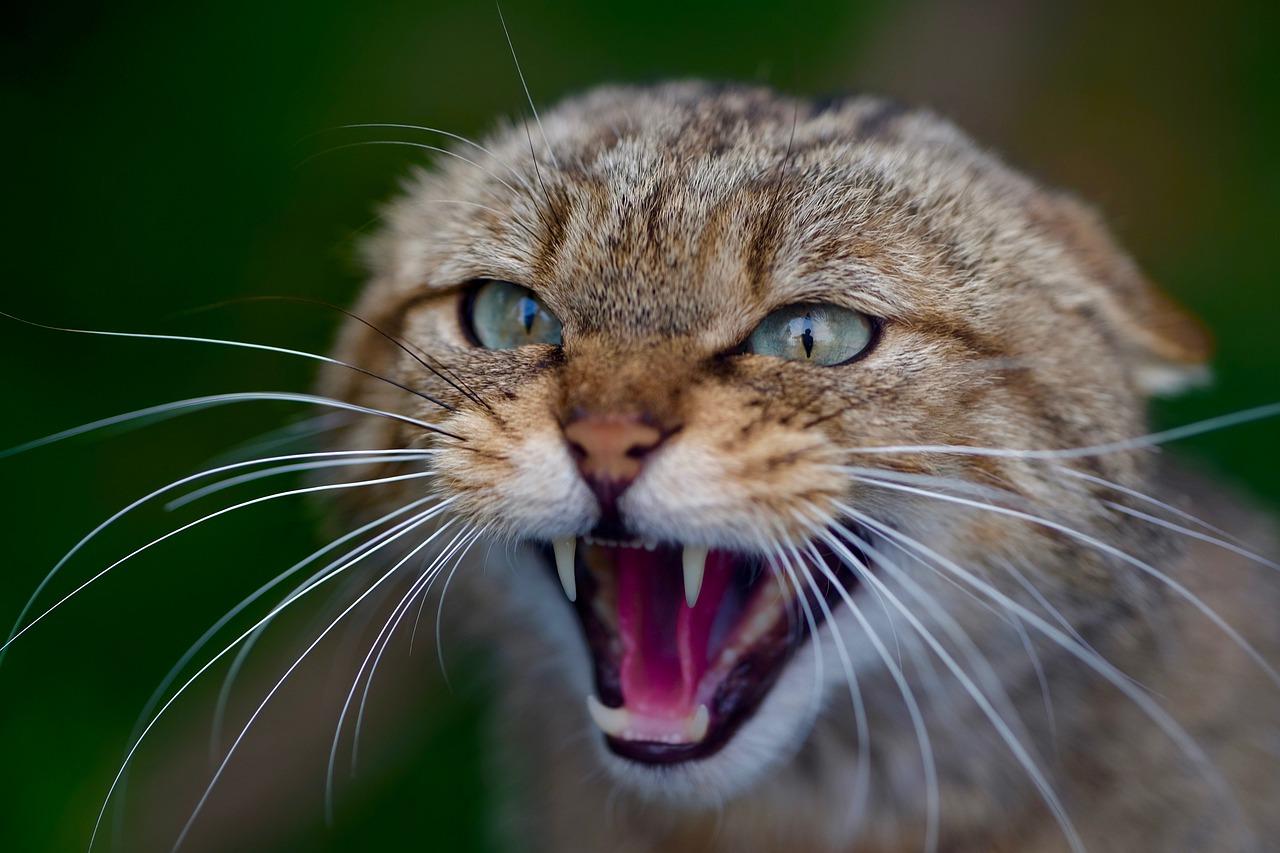 wścieklizna u kota